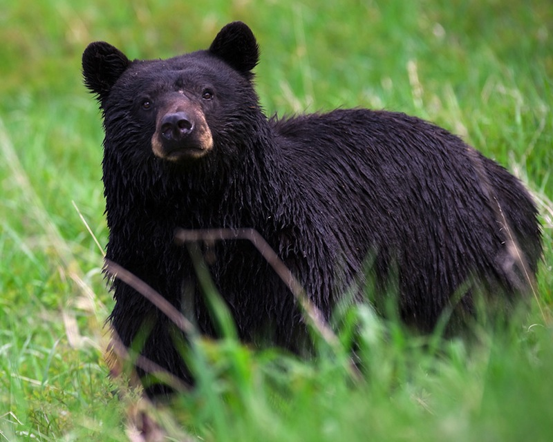 This photo shows a black bear in Yellowstone National Park in 2008.