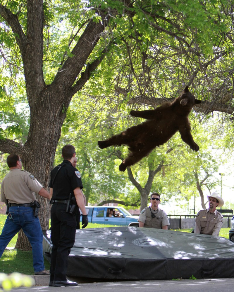 The bear that wandered into the University of Colorado Boulder, Colo., dorm complex Williams Village falls from a tree after being tranquilized by Colorado wildlife officials.