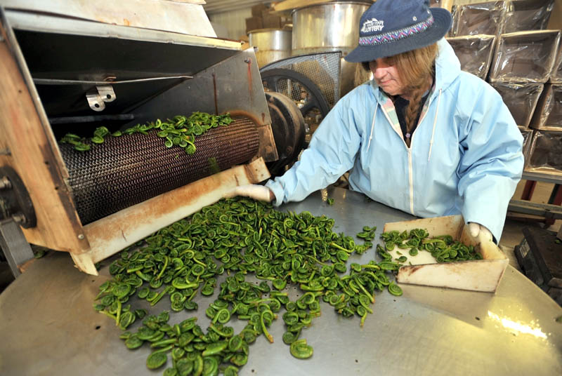 FRESH GREENS: Barb Pelletier packs boxes of fresh fiddleheads after the cleaning process at W.S. Wells & Son, a former cannery in Wilton, on Thursday. The company, founded in 1894, has shifted to selling fresh fiddleheads across the country.