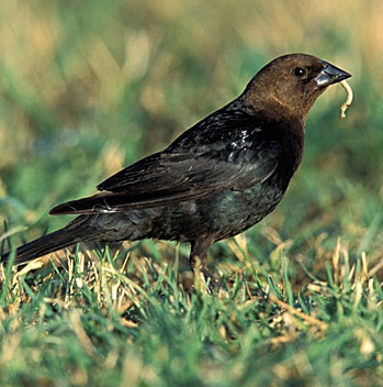 Brown-headed Cowbirds have only been present in eastern North America for about 150 years. They feed on insects, seeds and grass.