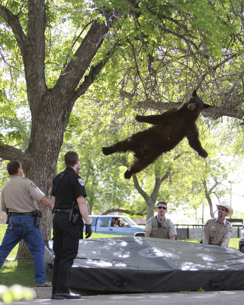 A 200-pound black bear, tranquilized by Colorado wildlife officials, drops 15 feet from a tree limb in a dorm complex at the University of Colorado Boulder on Thursday. Officials relocated the bruin to a remote Rocky Mountain locale.