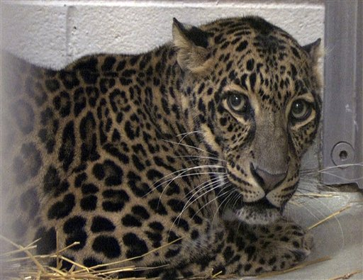 One of three leopards that were captured by authorities a day after their owner released dozens of wild animals and then killed himself near Zanesville, Ohio, on Oct. 18, 2011.