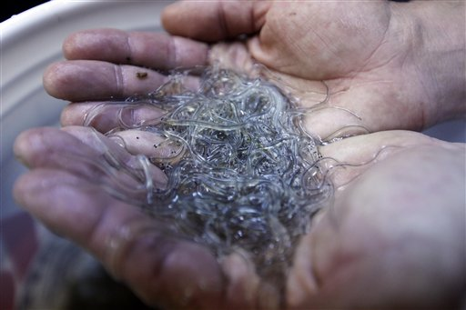 In this March 23, 2012 photo, a handful of elvers are displayed by a buyer in Portland. A Maine tribe has issued 236 elver-eel fishing licenses, catching the state by surprise. (AP Photo/Robert F. Bukaty)