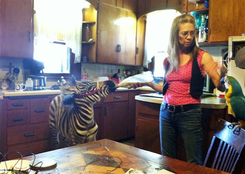 In an undated photo Vickey Teter of Cascade, Iowa, is seen with the baby zebra and a parrot she owned along with Jerald Reiter. Jerald Reiter stopped outside a Dubuque bar with a small zebra and a parrot in his truck has been charged with drunken driving. Reiter says he was about to let a passenger, a person, begin driving. (AP Photo/The Gazette-KCRG TV9, Katie Wiedemann)