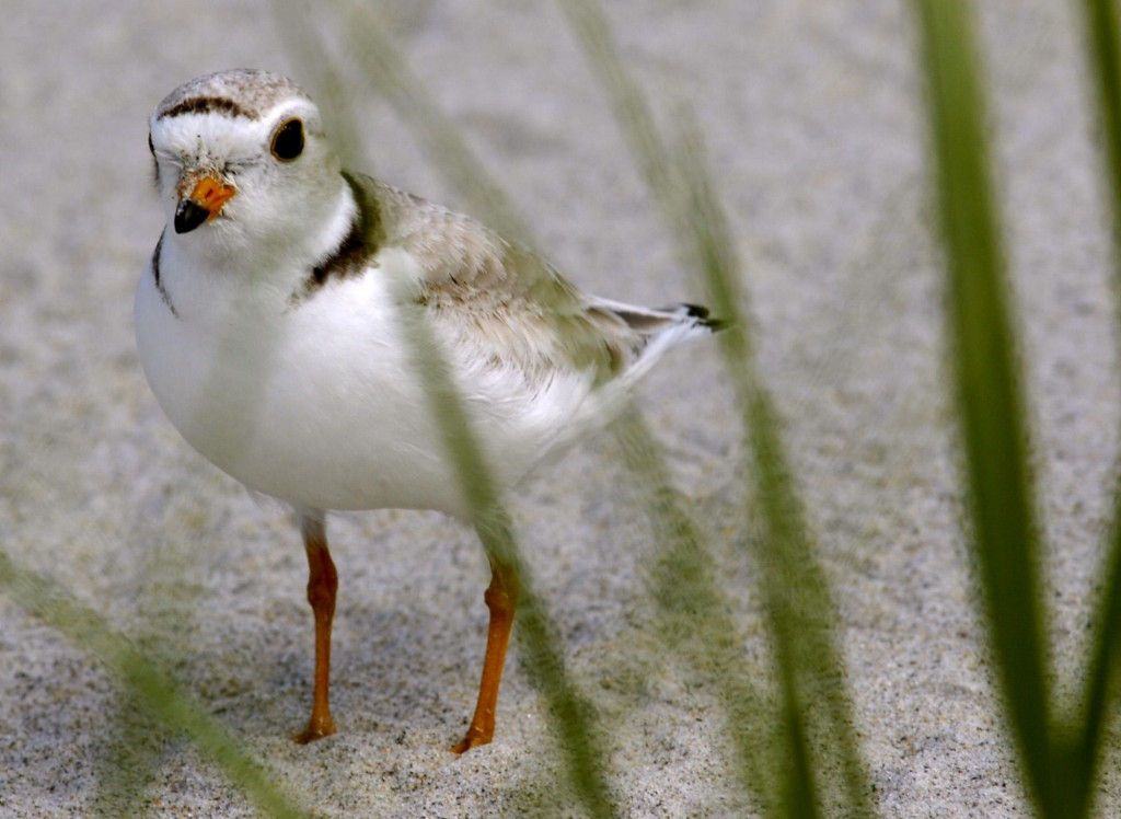 This 2006 file photo shows an adult piping plover along Higgins Beach in Scarborough, Maine. State officials are urging beachgoers to stay away from piping plover's nests along Maine beaches.