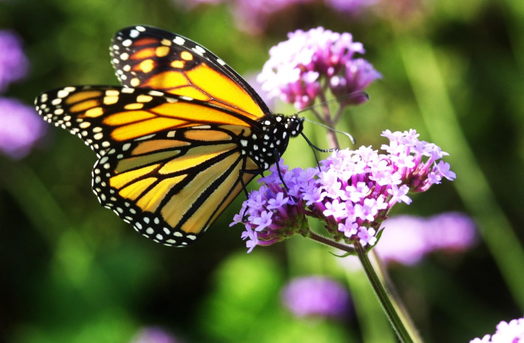 In this 2001 file photo, a monarch butterfly feeds on a verbena flower in a Portland garden. Maine is hoping to train the public to help them with a statewide butterfly survey.