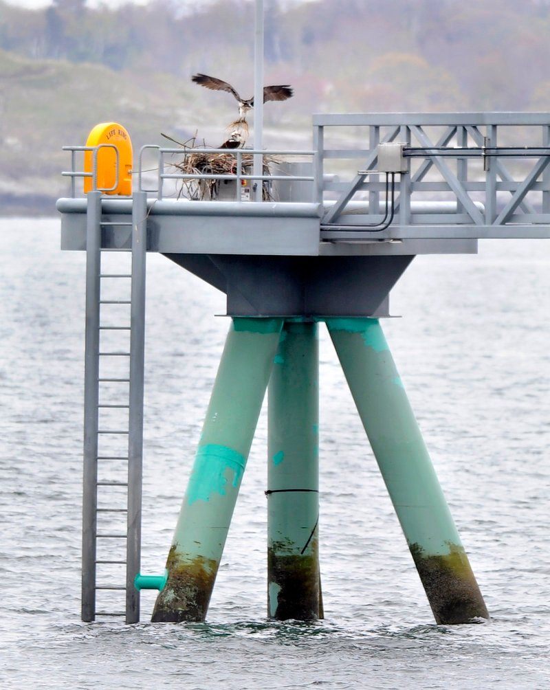 """Two ospreys have taken up residence at the end of the Ocean Gateway Pier II, working together this week to construct a nest atop part of the """"megaberth"""" that was completed last September. """"We need to figure out how to deal with it as soon as possible,"""" says Bob Leeman, the city's port manager."""