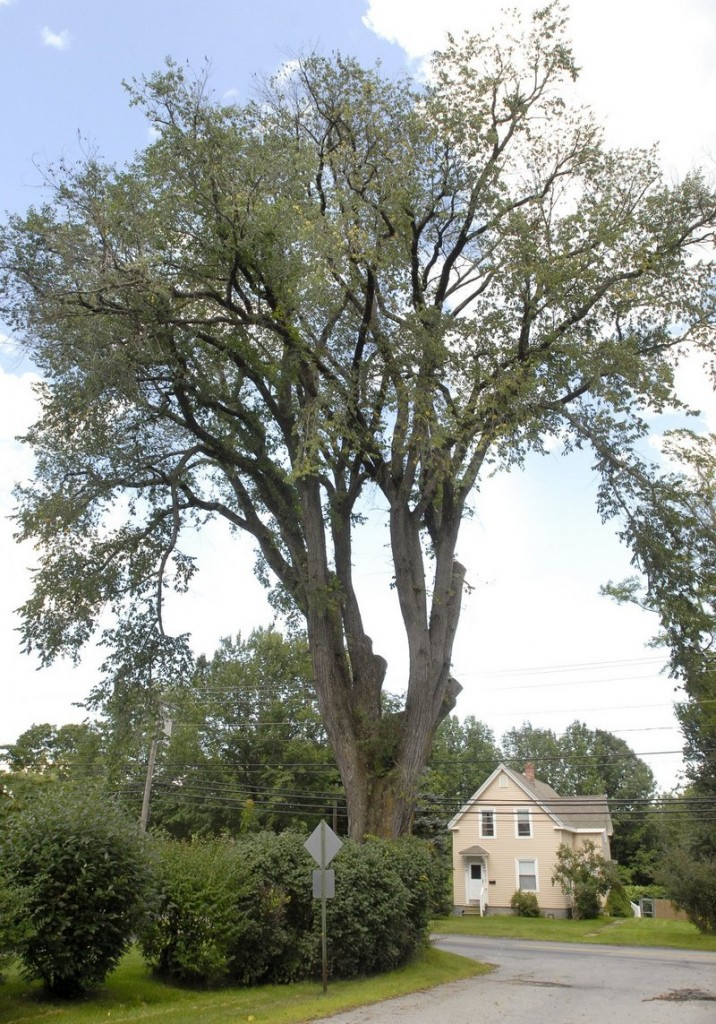 Herbie the elm was still standing tall in August 2009.