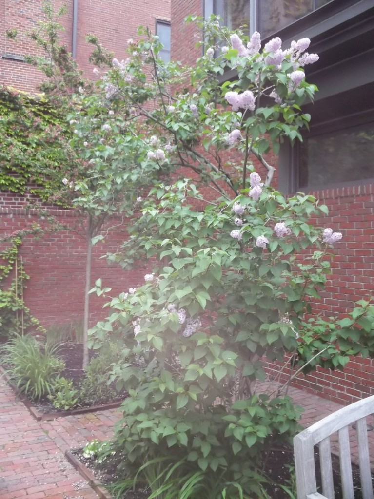 A lilac that dates to when Alice Longfellow Pierce lived in the home is flourishing in the garden today.