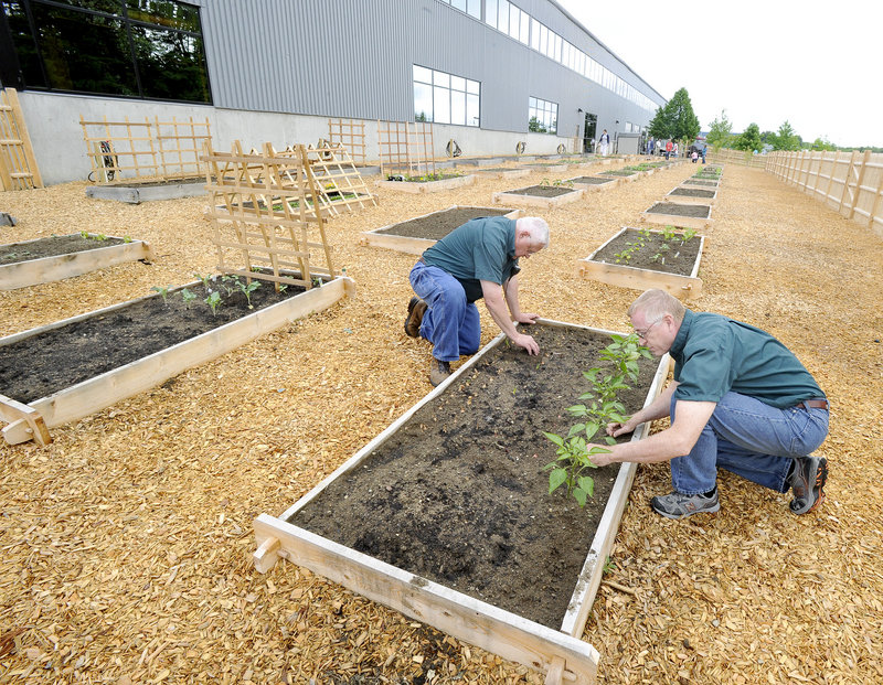 Jim Cortis and Peter Dale are working several beds in the Idexx garden this summer, raising peppers, onions and squash.
