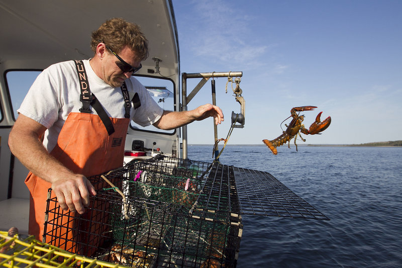 Sternman Scott Beede returns an undersized lobster while checking traps in Mount Desert. Under the current system, Beede may have to wait decades to obtain a lobstering license.