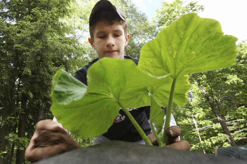 Lucas Dion plants a giant pumpkin seedling in his backyard in Waterboro.