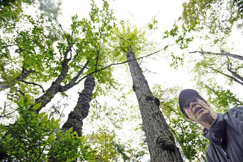 Janet Mangion, who has been giving tours of Ferry Beach State Park in Saco for 25 years, pauses under tupelo trees – which are rare in Maine – while hiking the trails. Mangion said connecting people with nature gets her excited.