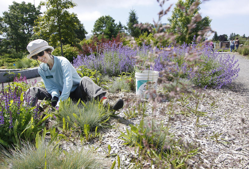 Aurelia Scott of Portland tends a section of the YardScaping Gardens at Back Cove containing Walker's Low catnip, back right, and Russian sage, left, in Portland on Friday. The gardens showcase nearly 2,000 trees, shrubs and perennials.