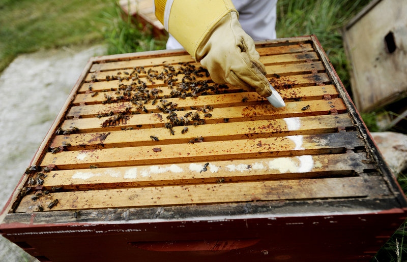 Kirstan Watson treats her bees with an antibiotic to help with diseases such as European foulbrood.