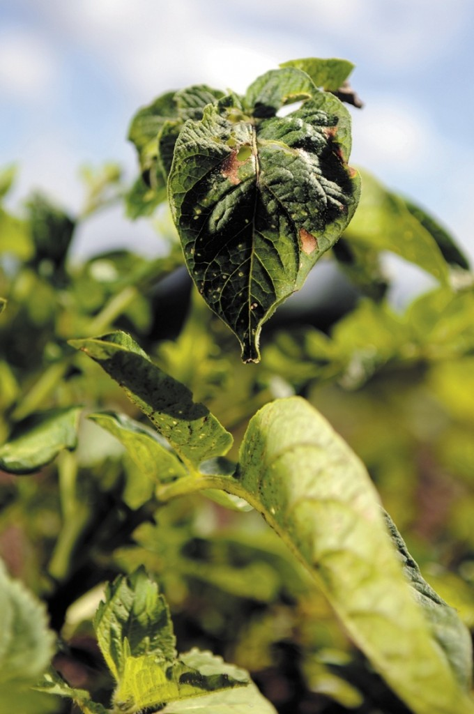"""A potato plant struggles at Wolf Creek Farm in Sidney. Many crops have been adversely affected by weather conditions this year. """"And I doubt the season will be long enough for pumpkins,"""" says gardener Diane Campbell."""