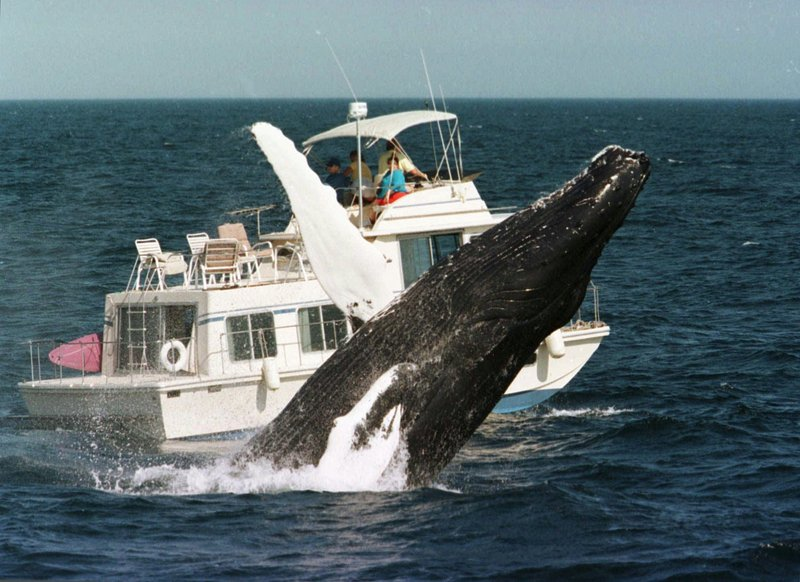 A humpback whale breaches past a boat in the waters of Stellwagen Bank off the coast of Massachusetts in 1998. The Whale Research Center of New England has made a comeback.