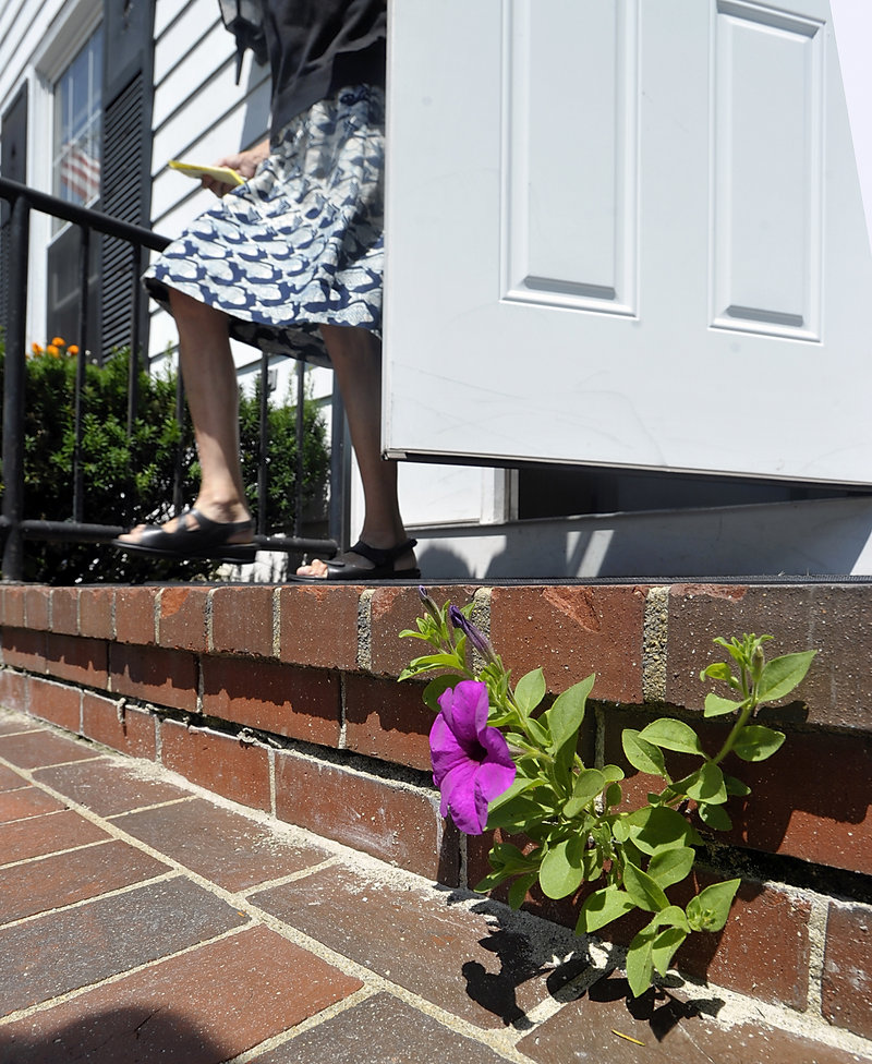 """Falmouth Town Clerk Ellen Planer came to work Monday morning to find this petunia flowering from the brick stairs at the front door of Falmouth Town Hall. """"Everybody are just amazed as they come in. It gives you a good feeling to see that flower blooming through the brick,"""" she said."""