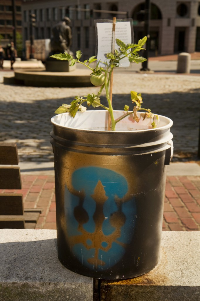 A tomato plant sits outside the Nickelodeon theater on Temple Street on Friday. The plants appear with notes urging people to water them and eat their fruit when it ripens.