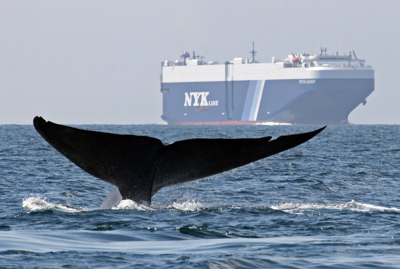 A blue whale is shown near a cargo ship in the Santa Barbara Channel, off the California coast, in 2008. Whales have been feeding off the coast in record numbers in recent years, raising their risk of colliding with large ships coming in and out of San Francisco Bay.