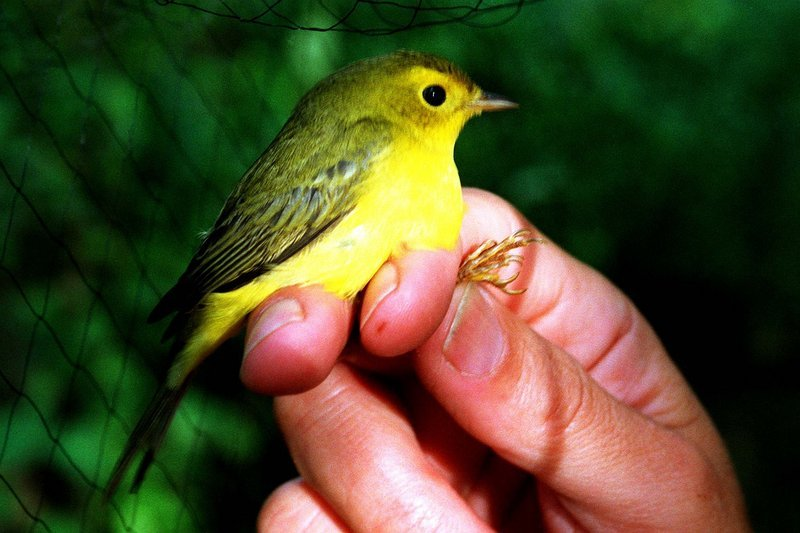 The author's ability to identify a Wilson's warbler, shown here, on a Nova Scotia ferry stemmed from an encounter he had with the bird six years earlier, he says.