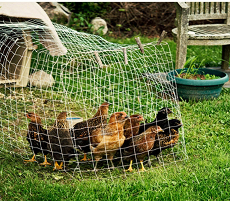 At Katy Gannon-Janelle's backyard garden in Falmouth, you can see her flock of chickens, protected from predators by enclosed fencing.