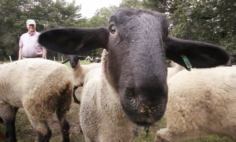 Lambs gather around Phil Webster at the couple's North Star Farm in Windham.