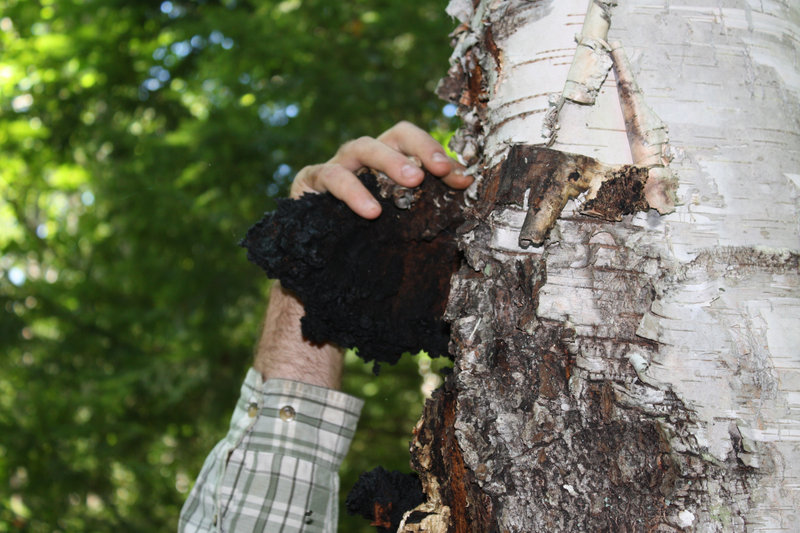 Dan Agro gets a grip on a chaga mushroom growing on a birch tree.