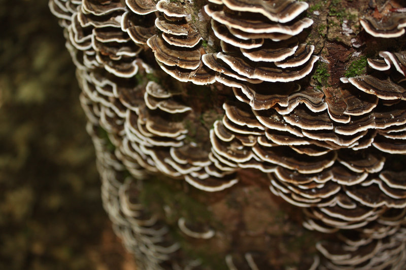 Turkey tail mushrooms are abundant in Maine and valued for their medicinal properties.