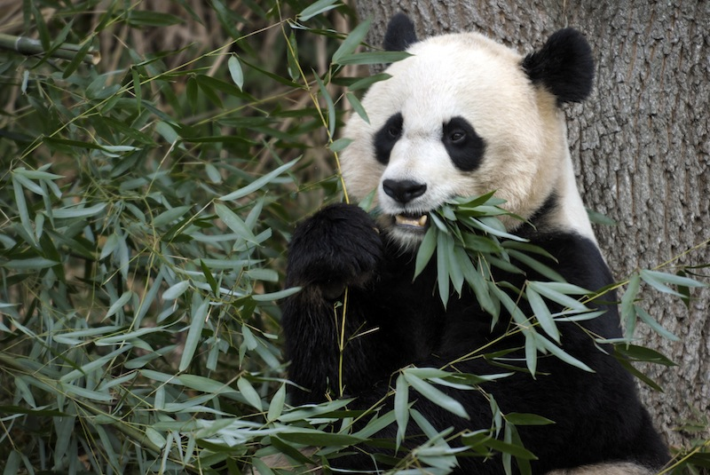 In this Dec. 19, 2011 file photo, Mei Xiang, the female giant panda at the Smithsonian's National Zoo in Washington, eats breakfast. Mei Xiang has given birth to a cub following five consecutive pseudopregnancies in as many years. (AP Photo/Susan Walsh)