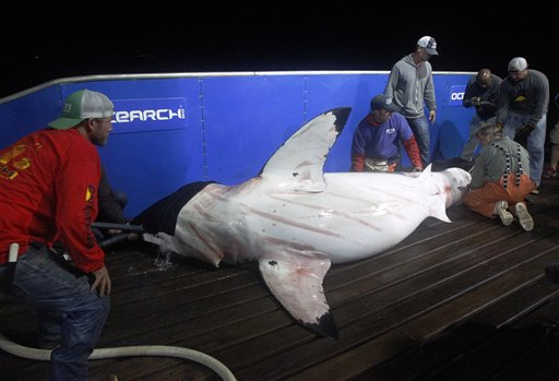 In this Sept. 13, 2012, photo, scientists collect blood and tissue samples from a female great white shark on the research vessel Ocearch in the Atlantic Ocean off the coast of Chatham, Mass. Before release, the nearly 15-foot, 2,292-pound shark was named Genie for famed shark researcher Eugenie Clark.