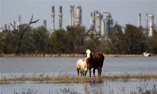 Cattle are stranded on a slim piece of dry land as floodwaters from Hurricane Isaac recede in Plaquemines Parish, La., Sunday, Sept. 2, 2012. More than 200,000 people across Louisiana still didn't have any power five days after Hurricane Isaac ravaged the state. Thousands of evacuees remained at shelters or bunked with friends or relatives. (AP Photo/Gerald Herbert)
