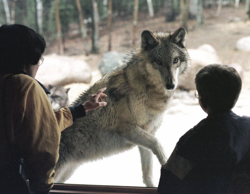 Research conducted at the International Wolf Center, above, in Ely, Minn., has helped inform discussions about the gray wolf – but many in the state are conflicted about hunting and trapping the animals, which will be allowed in November.