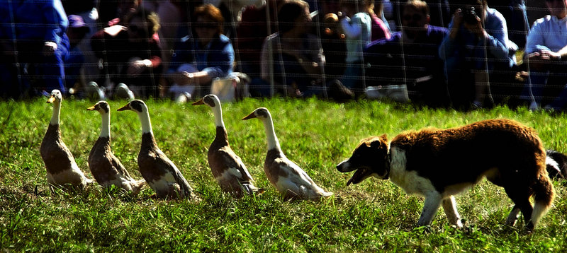 Herding demonstrations always draw a crowd at the Common Ground Country Fair, Friday through Sept. 23 at the fairgrounds in Unity.