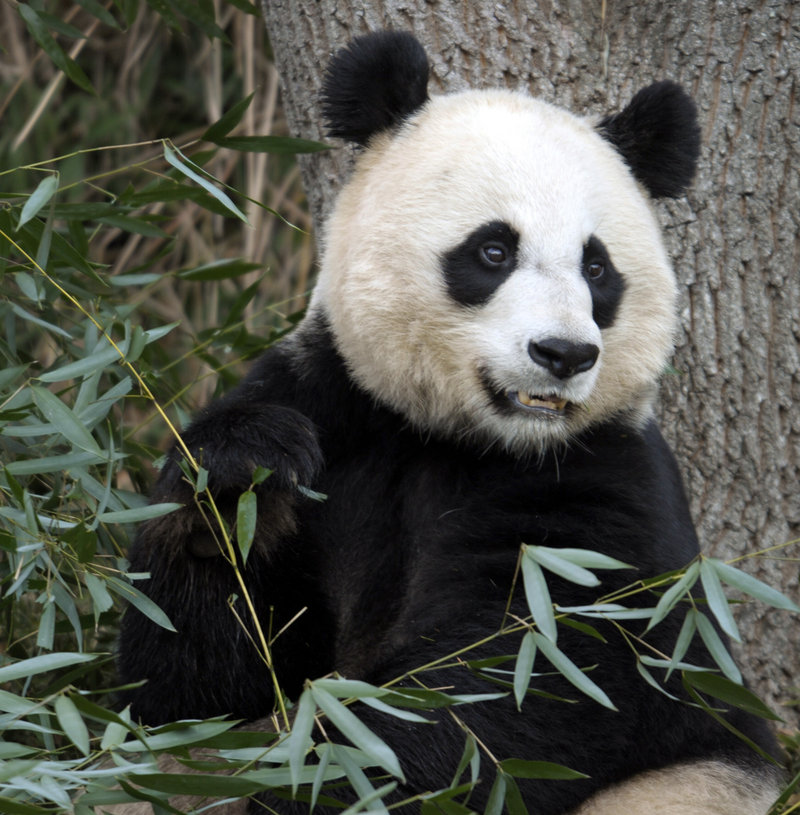 Mei Xiang, the female giant panda at the Smithsonian's National Zoo in Washington, D.C., has given birth to a cub.