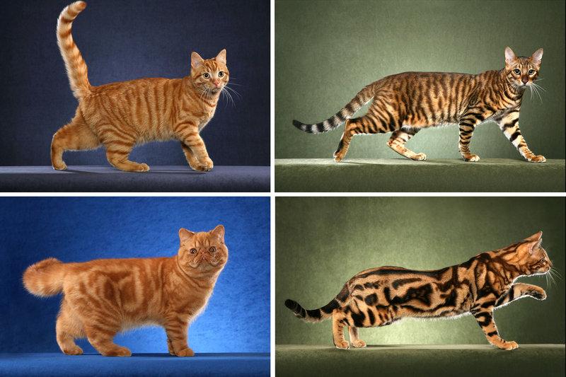 "Researchers say they've found the gene that determines the coat of the common tabby, either the so-called ""mackerel'' pattern with narrow stripes, top row, or the blotchy ""classic"" pattern, bottom row."