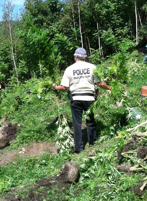 Maine drug agents seize marijuana plants from property on Sawyer Mountain Road in Limerick.
