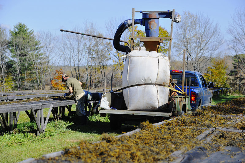 VitaminSea employee Mark Cunningham pulls sun-dried rockweed into a vacumn hose, which carries it to a grinder and bagger pulled by a truck.