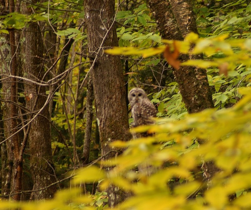 A barred owl with an estimated 4-foot wingspan scans the woods of Mechanic Falls for something small and furry when it is framed by Mike Tiner.