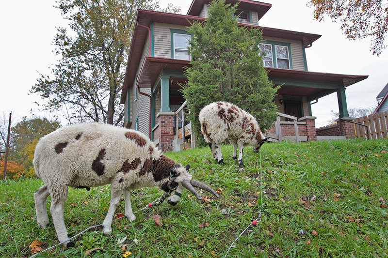 """Twisty, left, and Lily take on overgrown grass and weeds in front of a home on Hamilton Street in Indianapolis. """"They're local celebrities,"""" says Sue Spicer, president of the Willard Park of Holy Cross-Westminster Civic Alliance."""