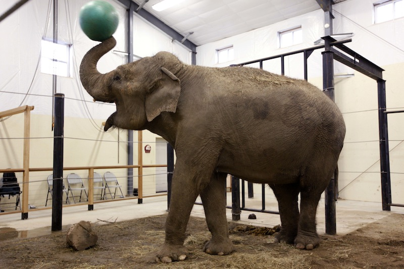 In this Tuesday, Nov. 13 photo, a retired circus elephant plays with a yoga ball at Hope Elephants, a not-for-profit rehabilitation and educational facility in Hope, Maine. In Maine, a state known for moose and lobsters, two Asian elephants have found themselves a new home. (AP Photo/Robert F. Bukaty)