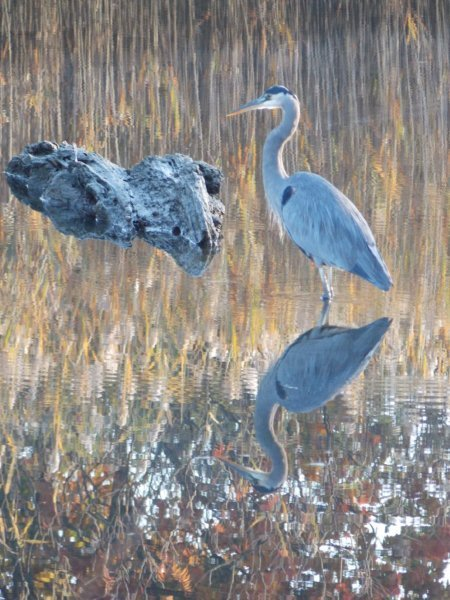 A blue heron is reflected in the peaceful waters of a pond in Kennebunkport. Sarah McComish of Saco snapped this shot.