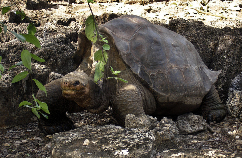 "A giant tortoise named ""Lonesome George"" is seen in 2008 in the Galapagos Islands, an archipelago off Ecuador's Pacific coast, in this photo released by the Galapagos National Park."