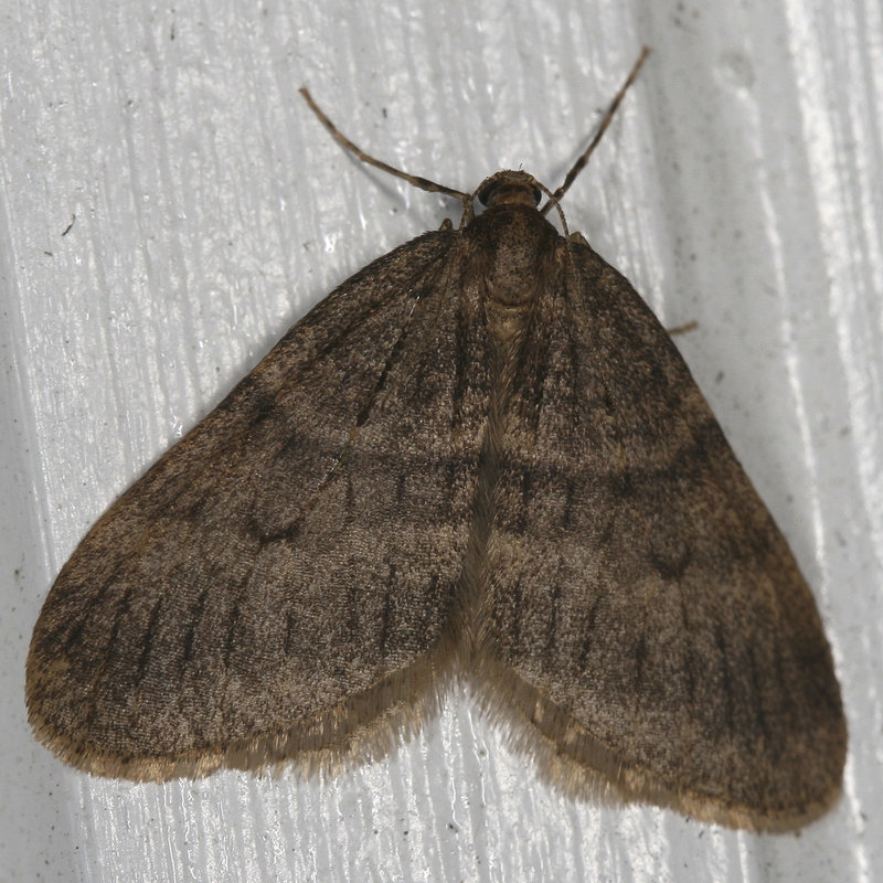 The winter moth, like this male example, strips trees of their leaves and can ultimately kill them. The species, which has been spreading into Maine from southern New England, has been spotted in Cape Elizabeth and several other communities this winter, a noticeable increase over last December, when they first were detected. Conservation officials are asking residents to bring samples to state entomologists so they can track the spread and degree of infestation in Maine.