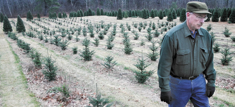 Dick Bradbury, owner of Bradbury's Christmas Trees in South China, walks through his crop of two-year-old balsam firs earlier this month. Bradbury, who plants between 500 and 1,000 trees every year, will tend to these young trees for eight more years – pruning, fertilizing, spraying – before they're ready for sale.