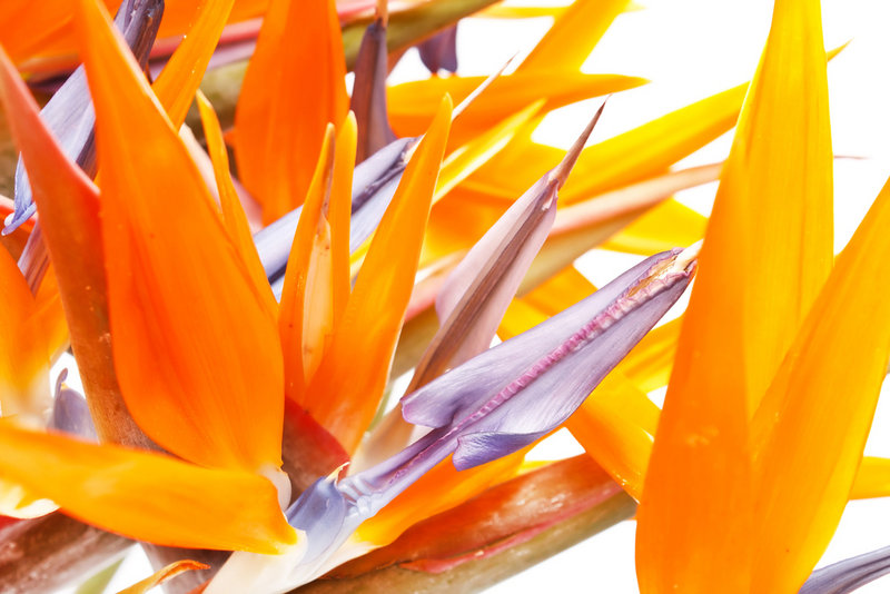 Bird of paradise blooms all year long on Madeira, located off the African coast. The stunning blossoms are exported to florists all over Europe.