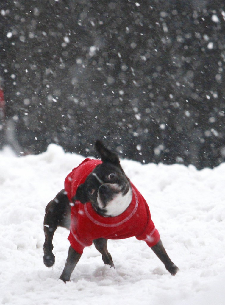 Dooney shakes off the flakes while strolling with his people on Dana Street in Portland.