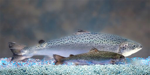AquaBounty Technologies produces a genetically modified salmon, rear, that grows twice as fast as a non-modified salmon, foreground. Aquabounty, however, is struggling financially as it waits for official FDA approval.