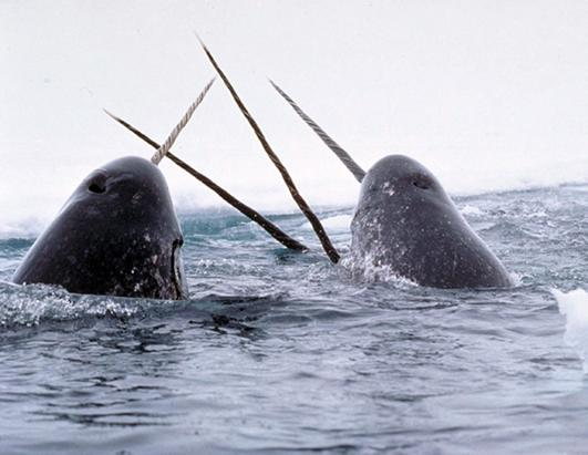 Narwhals breaching the ocean surface.