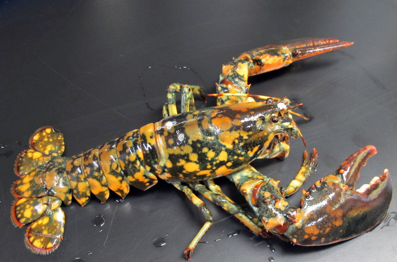 A rare calico lobster that could be a 1-in-30 million, according to experts, was caught by a Maine fisherman.
